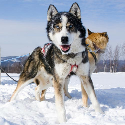 Actividades Canada Ski Experience 500 dog skiing